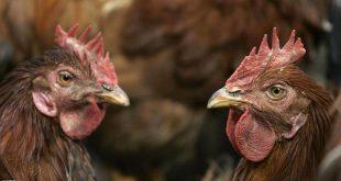 طيور دجاج