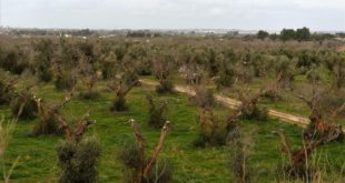 GALLIPOLI  ITALIA  ITALY-OLIVES-AGRICULTURE-XYLELLA-DESEASE    A picture shows olive trees infected by the bacteria  Xylella Fastidiosa  on February 11  2016 in Gallipoli near Lecce in the Puglia region  FOTO TIZIANA FABI   AFP