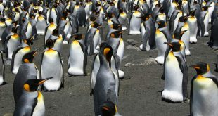 King-Penguin