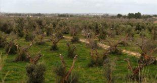 GALLIPOLI  ITALIA  ITALY-OLIVES-AGRICULTURE-XYLELLA-DESEASE    A picture shows olive trees infected by the bacteria  Xylella Fastidiosa  on February 11  2016 in Gallipoli near Lecce in the Puglia region  FOTO TIZIANA FABI   AFP