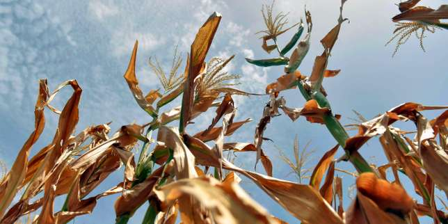View of corn crops affected by drought in the town of Usulutan, 110 km southeast from San Salvador, El Salvador on July 24, 2018.  Salvadorean authorities declared an alert due to a drought that has been hitting part of the country for almost a month and has caused severe losses in basic grains. / AFP PHOTO / Oscar Rivera